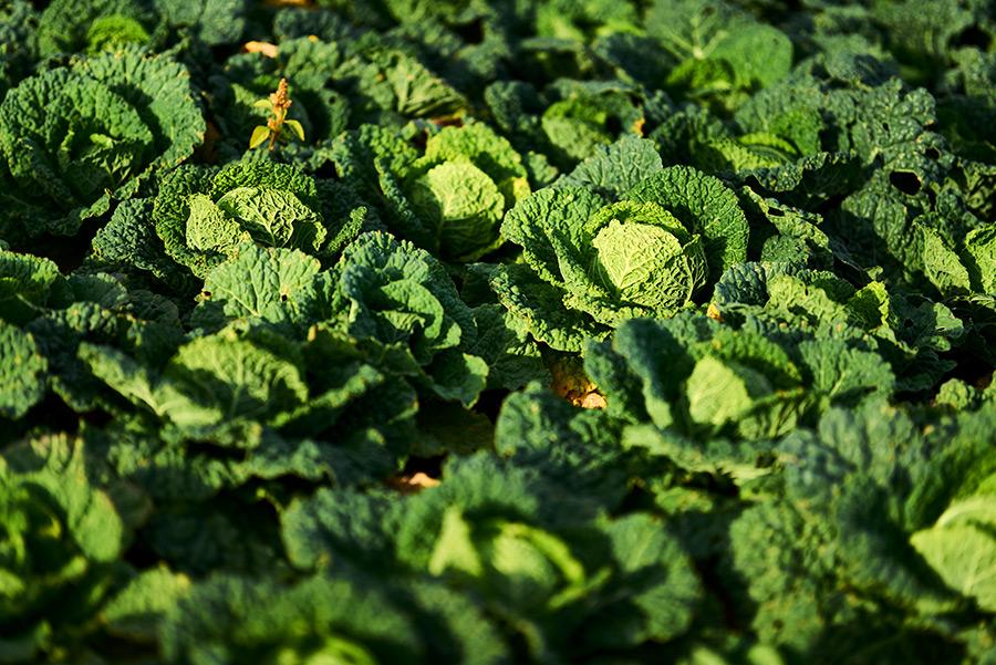 IRiS Gemüseraritäten Grünkohlohl